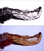 Kullsyreholdig vann Vs.  Flat Vann til friske nyrer