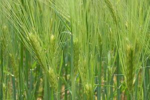 Wheat Grass Helse Fordeler