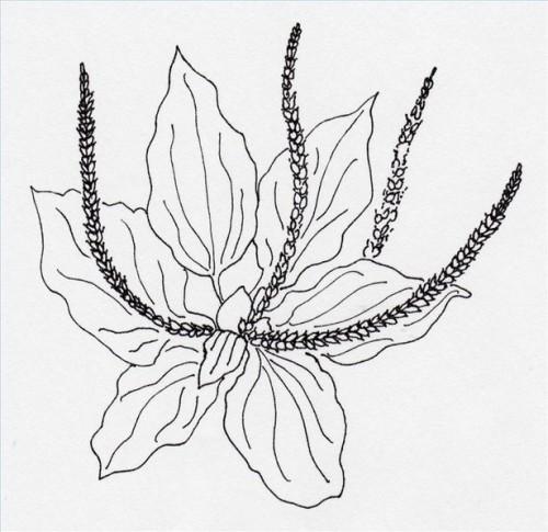 Hvordan å vokse og bruke Groblad
