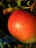 Forklaring til hvorfor et eple er Red
