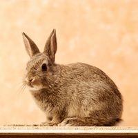 Hva er fordelene med å spise kanin kjøtt?