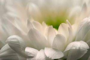 Helsemessige fordeler av Chrysanthemum Tea