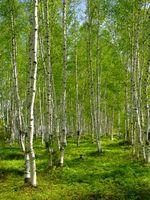 Medisin blomster eller planter på trær