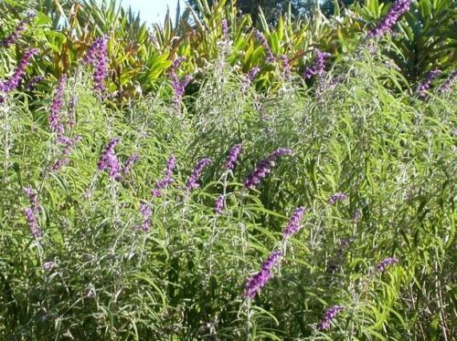 Lavendel migrene relief