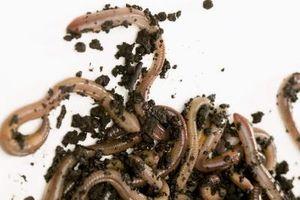 Orm som er gjennomført av Insekter