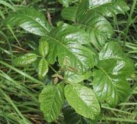 Hvordan å behandle Poison Oak med urter