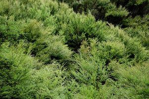 Effekter av Tea Tree Oil