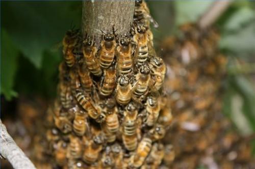 Hvordan behandle MS med bier