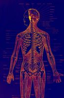 Menneskelig Organ Vekst