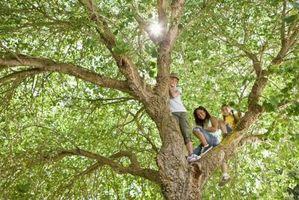 Bruken av Moringa treet