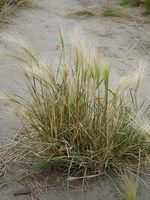 Hva er Barley Grass?