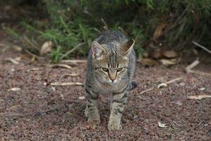 Årsaker til Håravfall på en Cat Bein