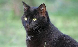 Allergiske Reaksjoner på Cats