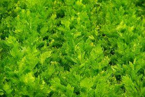 Hva er fordelene med økologisk selleri juice?