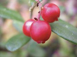 Liste over Wild spiselige planter og bær i Oregon