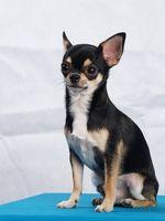 Hva er behandlingen for Small Dog Bites?