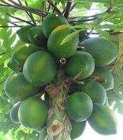 Papaya Enzyme Informasjon