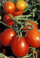 Helsemessige fordeler av tomater