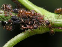 Hjem bøte for brann maur biter på en katt