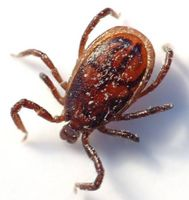 Lyme sykdom Effekter på den menneskelige hjernen