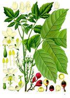 Guarana Seed Extract bruksområder