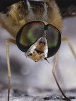 Hvilke effekter har Fluer Ha på mennesker?