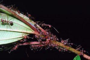 Maur med Stingers