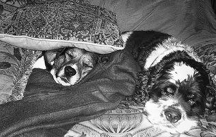 Hvorfor er mennesker Allergisk mot hunder?