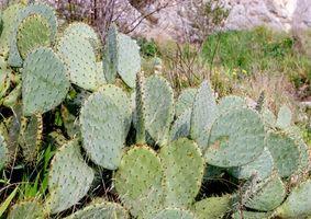 Ernæringsmessige egenskaper av Nopal kaktus