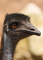 Emu for hårvekst