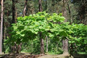 Hvordan identifisere og behandle Poison Oak