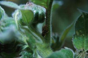 Hva er farene ved Wasp Spray?
