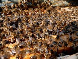 Africanized Bees og bivirkninger av flere stikk