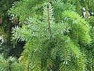 Hvordan bruke Pine Needles for forkjølelse og hoste