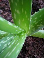 Aloe Vera & Crohns sykdom