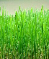 Helsemessige fordeler av wheatgrass & Barley Grass