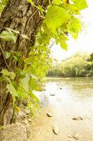 Hvordan oppdage Poison Ivy