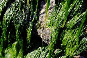 Bruk av Irish Moss