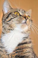 Helseeffekter Fra Breathing Cat Urin
