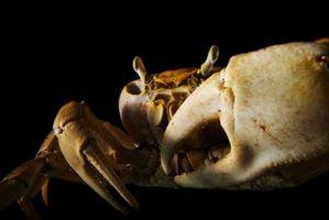 Hva er farene ved å spise Spoiled Krabbe?