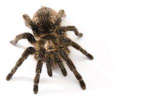 Tarantula Arter i California