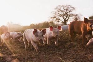 Hvordan Raise Pigs Rundt Gjødsel