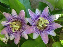 Sikkerhet for Passiflora incarnata