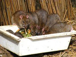 Hvordan bli kvitt rotter enkelt hjemme