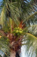 Hvordan forstå Coconut Water Nutrition