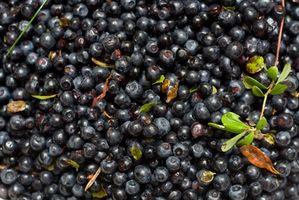 Hvordan bruke blåbær å behandle trombose