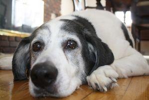 Hva er symptomene på Dog Hair allergi?