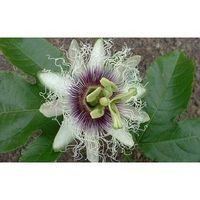 Hva er Passiflora?