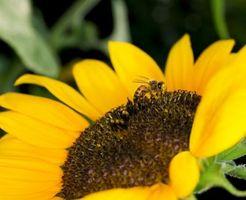 Hvordan å drikke Bee Pollen