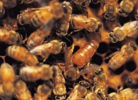 Hvilke Bees La Stingers?